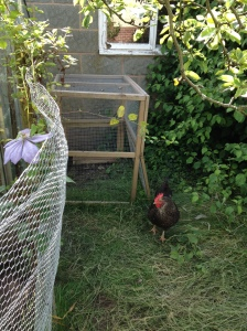 One of the hens