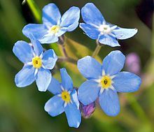 Forget-Me-Not the State flower